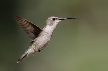 Black-Chinned Hummingbird Hovering in Flight Deep in the Forest Banco de Imagens