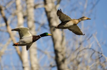 Pair of Mallard Ducks Flying Past the Winter Trees Foto de archivo - 125215491