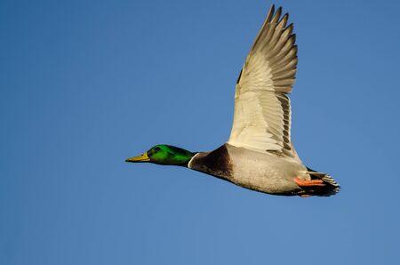 Mallard Duck Flying in a Blue Sky Banco de Imagens