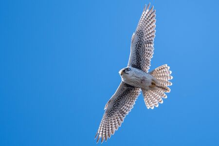 Prairie Falcon Soaring High in a Blue Sky Standard-Bild