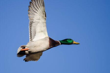 Mallard Duck Flying in a Blue Sky Foto de archivo - 126961175