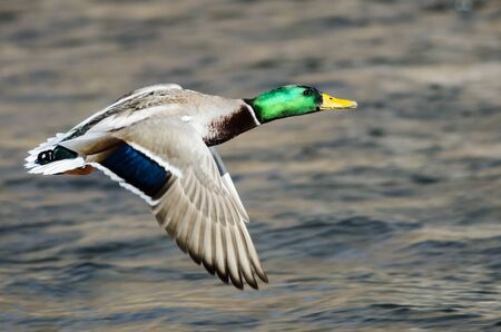 Mallard Duck Flying Over the Flowing River Standard-Bild