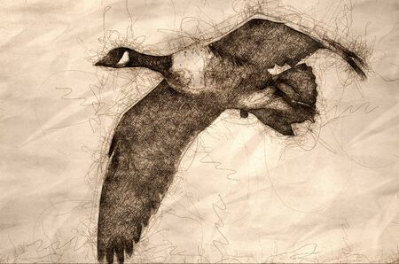 Sketch of a Close Look at a Canada Goose in Flight