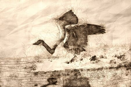 Sketch of a Canada Goose Landing in Water Imagens