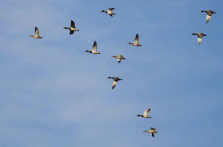 Flock of Mallard Ducks Flying in a Blue Sky Foto de archivo - 126961288