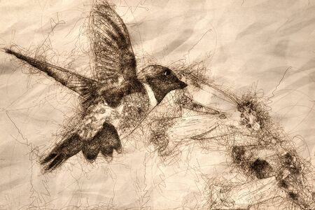 Sketch of Black-Chinned Hummingbird Searching for Nectar Among the Flowers