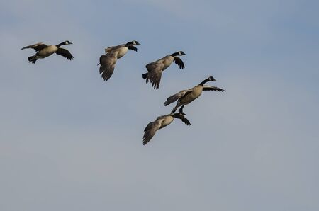 Flock of Canada Geese Coming in for Landing in a Blue Sky