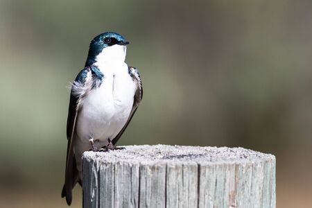 Spunky Little Tree Swallow Perched atop a Weathered Wooden Post Reklamní fotografie - 127764820