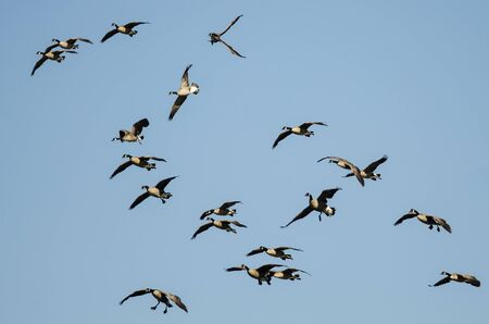 Whiffling Flock of Canada Geese Coming in for Landing in a Blue Sky Reklamní fotografie