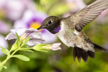 Black-Chinned Hummingbird Searching for Nectar Among the Violet Flowers Reklamní fotografie - 127764881