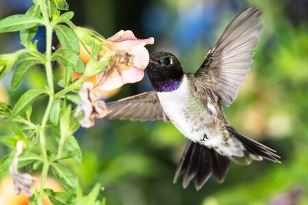 Black-Chinned Hummingbird Searching for Nectar Among the Orange Flowers Reklamní fotografie