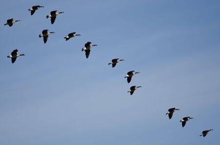 Flock of Canada Geese Preparing to Land Reklamní fotografie