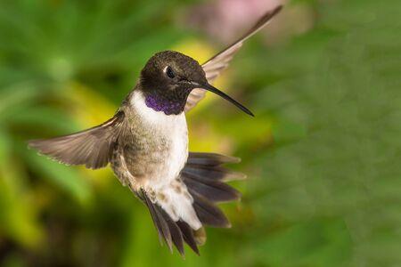 Black-Chinned Hummingbird Searching for Nectar in the Green Garden Reklamní fotografie