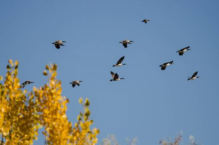 Flock of Canada Geese Flying Past a Golden Autumn Tree Reklamní fotografie - 127764893