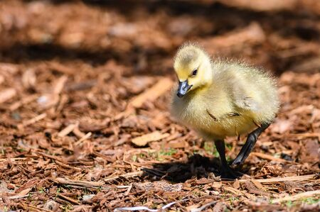 Newborn Gosling Exploring the Fascinating New World Reklamní fotografie - 127764895