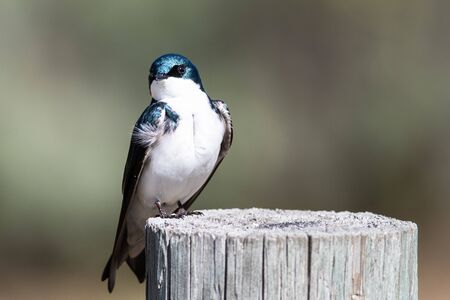 Spunky Little Tree Swallow Making Direct Eye Contact While Perched atop a Weathered Wooden Reklamní fotografie - 127764894