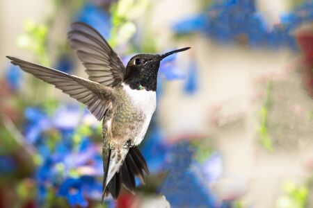 Black-Chinned Hummingbird Searching for Nectar in the Flower Garden