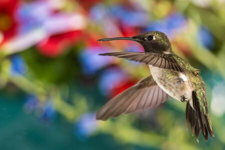 Black-Chinned Hummingbird Searching for Nectar in the Flower Garden Reklamní fotografie - 127764906