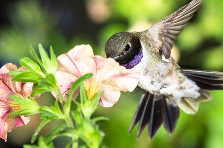 Black-Chinned Hummingbird Searching for Nectar Among the Orange Flowers Reklamní fotografie - 127764929