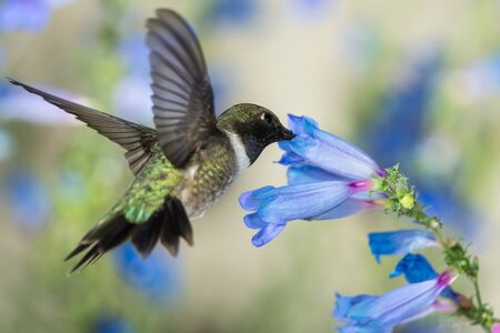 Black-Chinned Hummingbird Searching for Nectar Among the Blue Flowers