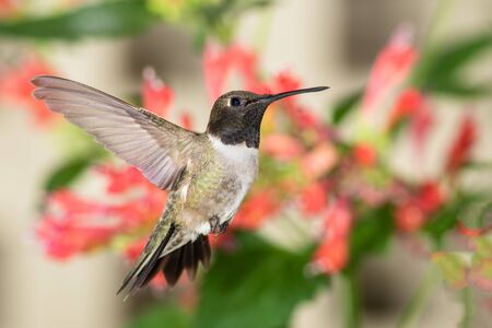 Black-Chinned Hummingbird Searching for Nectar Among the Red Flowers