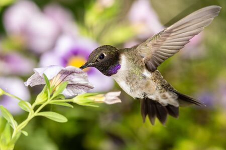 Black-Chinned Hummingbird Searching for Nectar Among the Violet Flowers Reklamní fotografie - 127764965