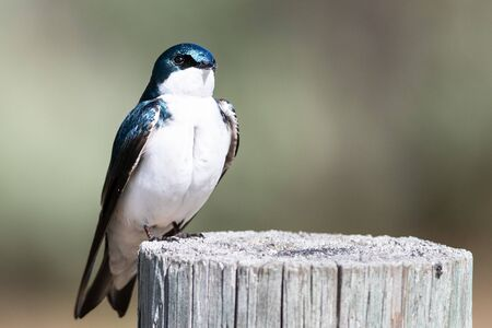 Spunky Little Tree Swallow Perched atop a Weathered Wooden Post Reklamní fotografie