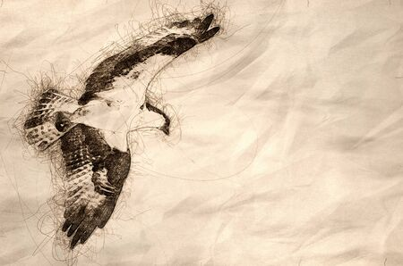 Sketch of Lone Osprey Hunting on the Wing Reklamní fotografie - 127764980