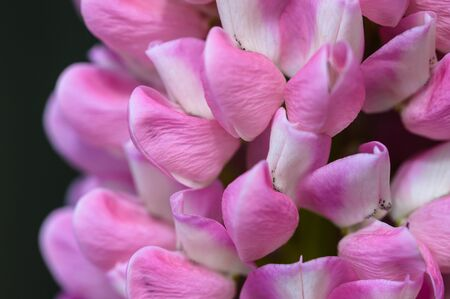 Close Look at the Delicate Pink Lupine Flower Petals Reklamní fotografie - 127765001