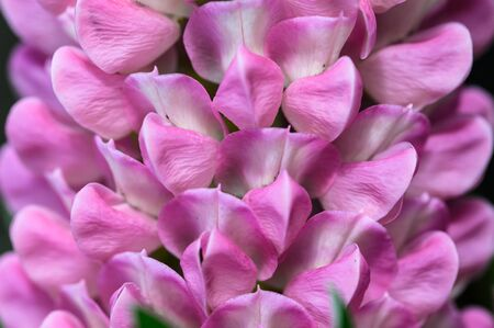 Close Look at the Delicate Pink Lupine Flower Petals