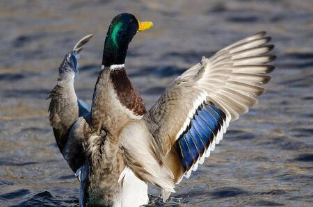 Mallard Duck Stretching Its Wings While Resting on the Water