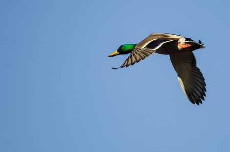 Mallard Duck Flying in a Blue Sky Foto de archivo - 133296879
