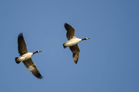 Two Canada Geese Flying in a Blue Sky Reklamní fotografie