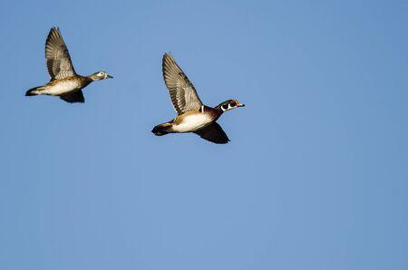 Pair of Wood Ducks Flying in a Blue Sky Reklamní fotografie