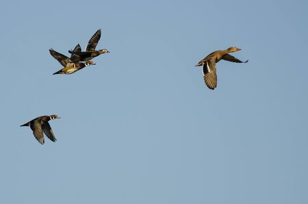 Mallard Duck Leading a Small Group of Wood Ducks as They Fly in a Blue Sky