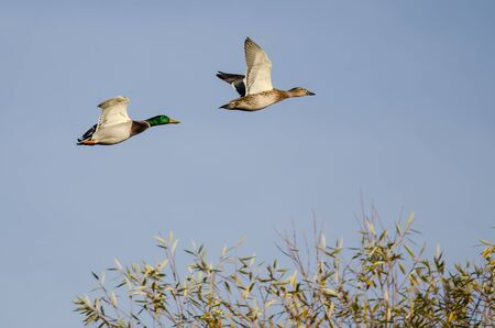 Mallard Ducks flying Low Over the Autumn Trees Reklamní fotografie - 132045614
