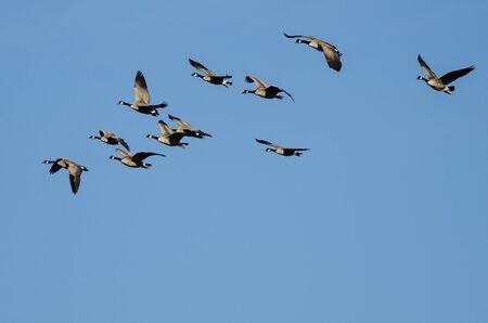 Flock of Canada Geese Flying in a Blue Sky Reklamní fotografie - 132045521