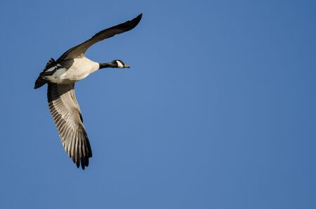 Lone Canada Goose Flying in a Blue Sky