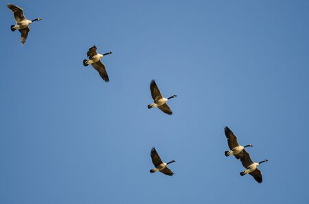 Flock of Canada Geese Flying in a Blue Sky Reklamní fotografie - 132045576