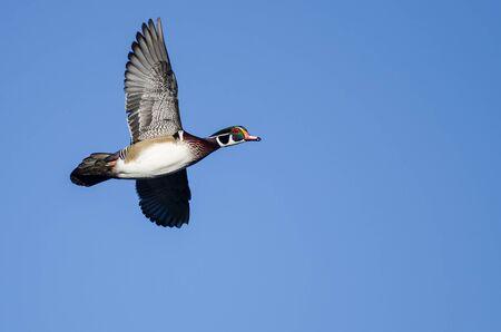Wood Duck Flying in a Blue Sky Reklamní fotografie