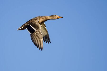Mallard Duck Flying in a Blue Sky Reklamní fotografie - 132045282