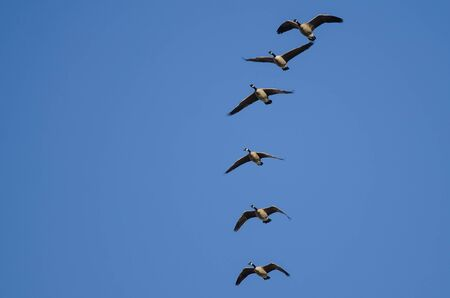 Flock of Canada Geese Flying in a Blue Sky Reklamní fotografie - 132045342