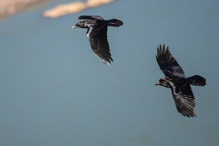 Two Common Black Ravens Flying Over the Canyon River Reklamní fotografie - 132045337