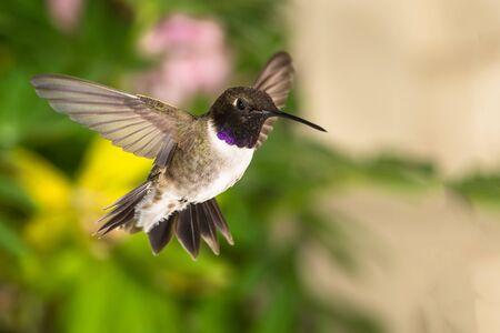 Black-Chinned Hummingbird Searching for Nectar in the Green Garden Reklamní fotografie - 132045516