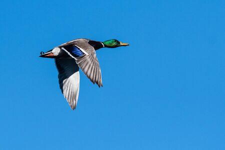 Mallard Duck Flying in a Blue Sky Foto de archivo - 133829523