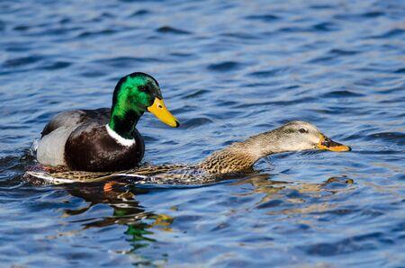 Pair of Mallard Ducks Mating on the Water Foto de archivo - 133829542