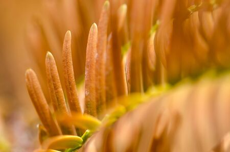 Nature Abstract: Golden Needles of the Dawn Redwood in Autumn Imagens