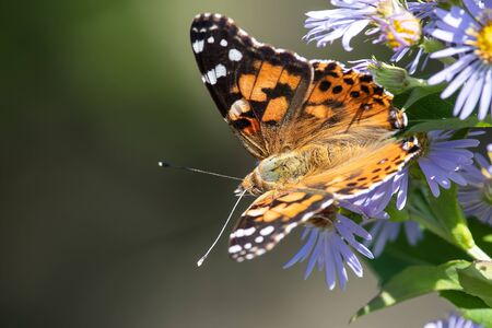 Painted Lady Butterfly Sipping Nectar from the Accommodating Flower Фото со стока - 135556676