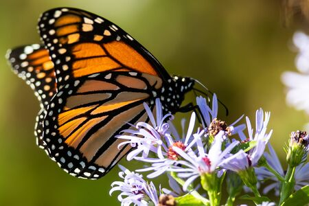 Monarch Butterfly Sipping Nectar from the Accommodating Flower Фото со стока - 135556679