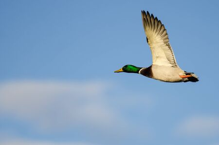 Mallard Duck Flying in a Blue Sky Foto de archivo - 135556744